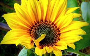 Sunflower Diseases
