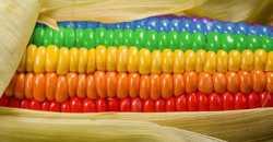 Выращивание кукурузы как бизнес: на сколько рентабельно и что потребуется?